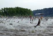asian-carp-jumping