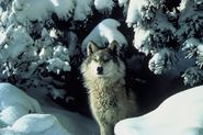 800px-Canis_lupus_standing_in_snow
