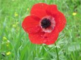 flowerkalanit.jpg