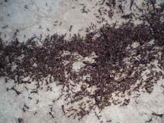 Closeup of Army Ants 2