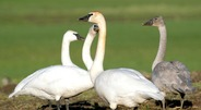 Trumpeter-Swans-in-Sequim-Field 2