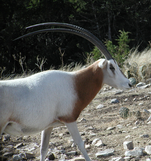 Scimitar-Horned Oryx 2
