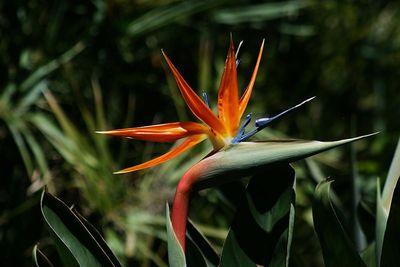 800px-Bird_of_Paradise_flower