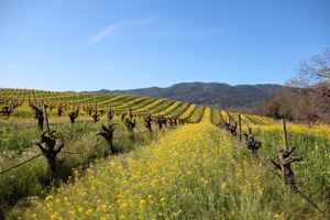 Mustard-in-the-Vineyard-sm