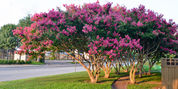 crape-myrtle-tree_article