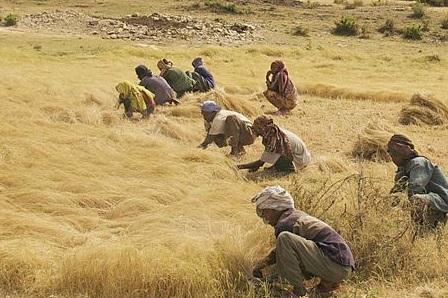 Teff production                             in Ethiopia