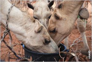 Farmed animals                           eating from bucket in Kenya