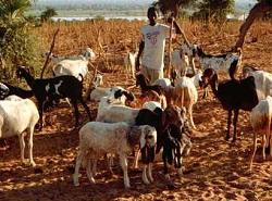 Goats on                           overgrazed land