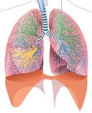 FREE USE CC00 Wikipedia Lung Diagram