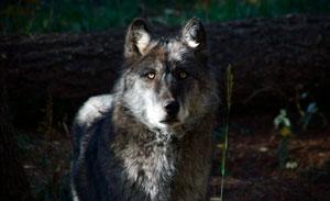 WS-Canis-Lupus-sm