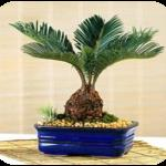 sago palm 2