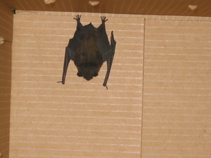 Bat released from a cardboard box