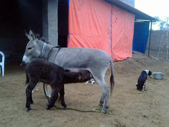 baby donkey with mother his leg injured