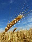 harvest125