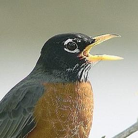American-Robin-Guy-L-Monty-285