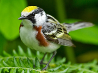 Chestnut-sided_Warbler_Gregg_Thompson_200px