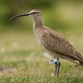 Whimbrel-Andrew-Johnson-285