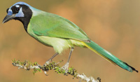 green_jay_tom_grey_200px