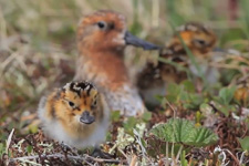 Spoon-billed_Sandpiper_Adorable_Chick