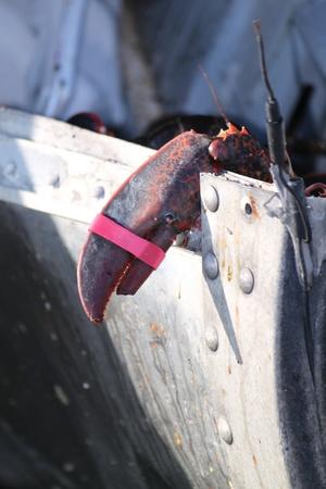 Lobster 11
