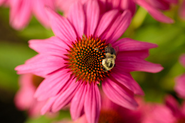 Bee-on-Pink-1