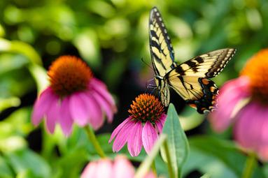 Perennial-Butterfly-1
