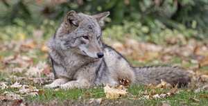 JH_coyote_wide