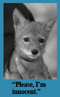 Coyote Pup The Accorn News 2