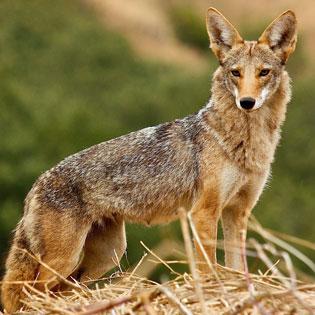 Coyote San Fran Janet Kessler