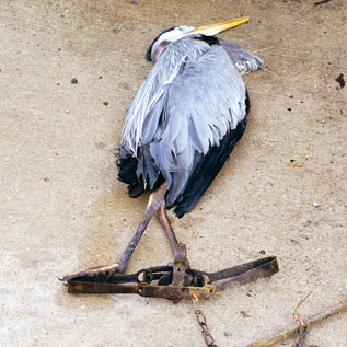 Great Blue Heron in Leghold Coyote Trap