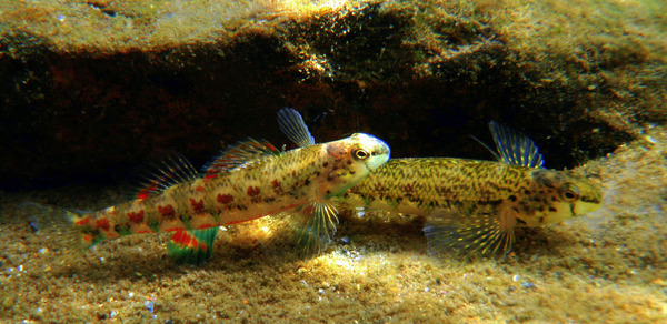 Holiday Darters Spawning