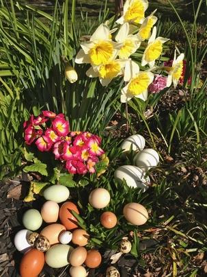 Easter Eggs primrose