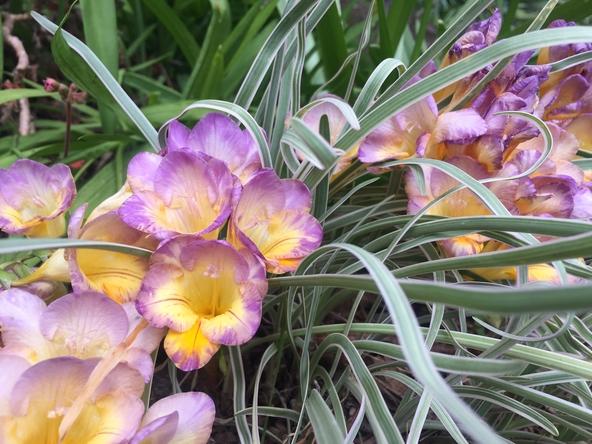 lavender yellow freesia 4